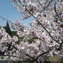 桜の季節   スタッフブログ